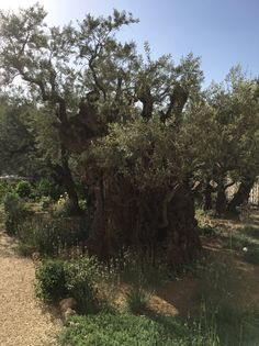 Garden of Gethsemane - some of these trees are over 2,000 years old.  4.11.16