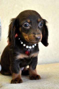 Daschund puppy of my dreams :)