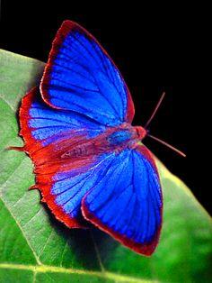 Butterfly Pictures, Butterfly Flowers, Beautiful Bugs, Beautiful Butterflies, Bird Tattoo Wrist, Flying Flowers, Butterfly Template, Butterfly Painting, Wildlife Nature