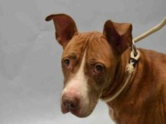 PULLED BY ALL BREED RESCUE VERMONT - 10/31/15 - TO BE DESTROYED - 10/31/15 - DIAMOND - #A1055550 - Urgent Brooklyn - FEMALE TAN PIT BULL MIX, 5 Yrs - STRAY - HOLD FOR ID - Intake Date 10/21/15 Due Out 10/24/15