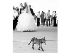 """L'invitato. Daroczi Csaba, Ungheria, Menzione d'onore.  """"Durante una cerimonia di nozze, nell'hangar di un piccolo aeroporto, ho notato questo gatto che, dopo aver catturato un topo, si aggirava tra gli invitati. Ho solo aspettato che passasse davanti alla coppia di sposi""""."""