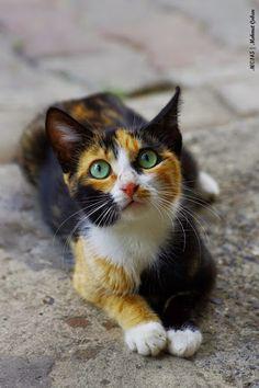 Pretty calico kitty.