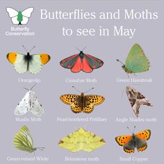 It's May and the number of butterfly and moth sightings we are receiving is increasing. Here are just a handful of the species you could see over the next few weeks 🌸 Keep calm and count butterflies 👉 # Nature Butterfly Identification, Butterfly Species, Nature Posters, British Wildlife, Insect Art, Bugs And Insects, Animals Of The World, Beautiful Butterflies, Science And Nature