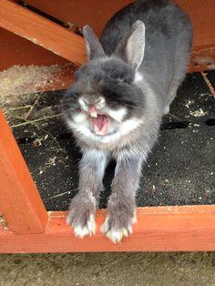 Yawning rabbit❤️