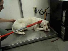 Pictures of HAZEL a American Pit Bull Terrier for adoption in Phoenix, AZ who needs a loving home.