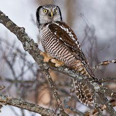 Northern Hawk Owl on branch