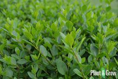 Ligustrum ovalifolium online bestellen: http://www.plantengrow.nl/haagplanten/ligustrum-ovalifolium-ligusterhaag-27.htm (Plant & Grow) - Ligusterhaag