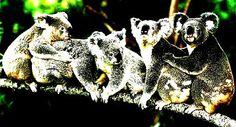EDUPSIQUE: KOALAS Y POLÍTICOS: una aventura evolutiva apasionante...