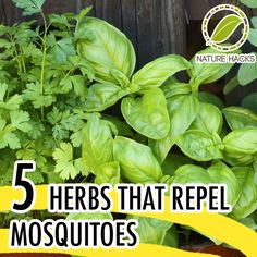 5 herbs that repel mosquitoes