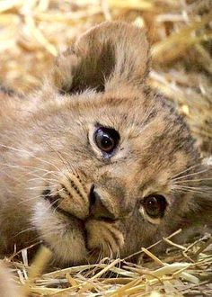 Lion Cub by Zuiko Mike on Cute Baby Animals, Animals And Pets, Funny Animals, Cute Animals Images, Wild Animals, Big Cats, Cats And Kittens, Cute Cats, Beautiful Cats