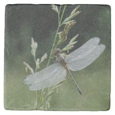 Shop Dew covered Darner Dragonfly Stone Coaster created by theworldofanimals. Stone Coasters, Custom Coasters, Travertine, Dragonflies, Bees, Butterflies, Backdrops, Cover, Nature