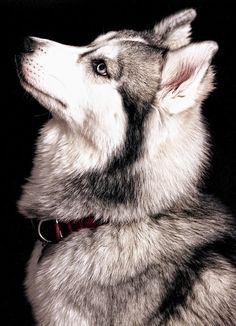Very beautiful Siberian husky here my friends.