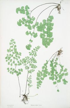 Maidenhair fern from NYPL digital collection