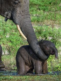 He added: 'It looked like the mum was teaching the calf how to use the mud to stay cool in...