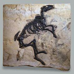 """""""Dawn horse"""" fossil, USA"""