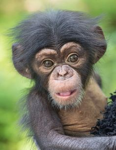 Baby chimpanzee - oh and that face !! ❤️