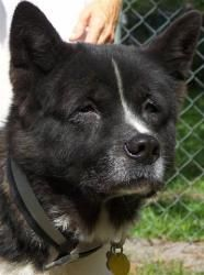 Hemi is an adoptable Akita Dog in Jacksonville, FL.  I know life doesn't offer any guarantees, For instance, who knew that I'd end up homeless at age 8? But, being the eternal optimist, I just know yo...