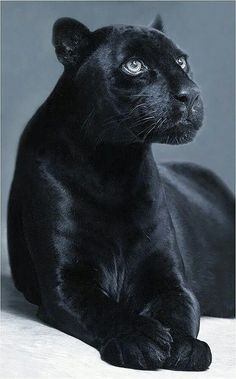 Panther Spirit Animal The panther spirit animal is powerful and protective. The panther symbolizes courage, valor and power. If the panther is your power animal, you are blessed with a fierce guardian. The panther is the Big Cats, Crazy Cats, Cool Cats, Cats And Kittens, Black Animals, Animals And Pets, Cute Animals, Black Cats, Puma Animal Black