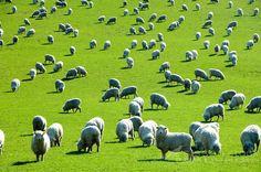 A field of sheep graze on green grass in New Zealand. Livestock Farming, Baa Baa Black Sheep, Sheep And Lamb, Cute Cows, Counting Sheep, The Good Shepherd, Psalm 23, Alpacas, Lambs