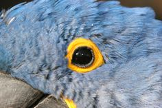 The Eye Of The Hyacinth Macaw.