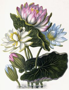 Red, Blue, And White Lotus Flowers Painting by William Hooker