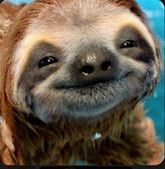 Smiling Animals, Happy Animals, Cute Baby Animals, Funny Animals, Wild Animals, Smiling Sloth, Cute Baby Sloths, Cute Sloth, Baby Otters
