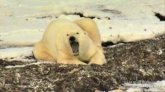 #polarbearcam