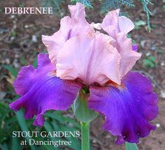 Iris DEBRENEE | Stout Gardens at Dancingtree