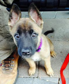 "Evelyn the Belgian Malinois Mix, Look at ""Her"" v.s. the shoe!"