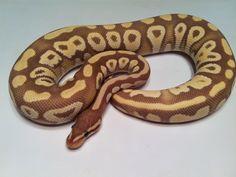Banana Mystic - Morph List - World of Ball Pythons