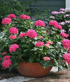 small hydrangea - Google Search