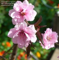 The peach blossom was adopted as Delaware's official floral emblem on March 9, 1895.  Pictured here is 'Pink Cascade' in bloom.