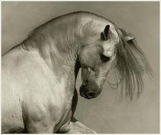 Andalusian Stallion by Wojtke Kwiatkowsk