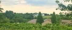 North vineyard 2017