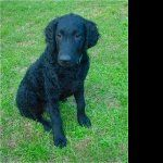 Curly Coated Retriever pic