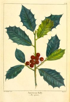 American Holly (Ilex opaca). From New York Public Library Digital Collections.