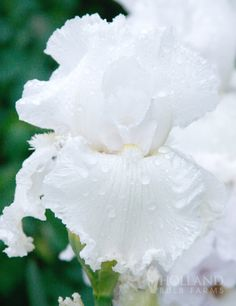 'Immortality' Reblooming Bearded Iris
