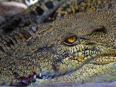 Crocodile - Paington Zoo