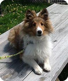 5/6/17 Bridgewater, NJ - Sheltie, Shetland Sheepdog. Meet Minnie, a puppy for adoption. http://www.adoptapet.com/pet/12898455-bridgewater-new-jersey-sheltie-shetland-sheepdog