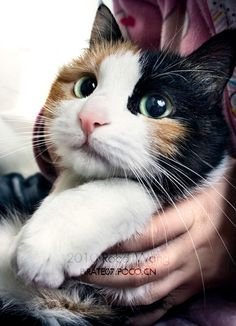 Calico cats are my favorite! Thers something very special about them