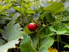strawberry on a branch in the grass
