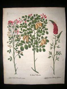 Besler 1613 LG Folio Hand Colored Botanical Print. Colutea Tree