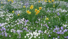 Daffodils and anemones  make a beautiful combination together. The light blues and whites balance the yellow beautifully. This would work down by the tree.