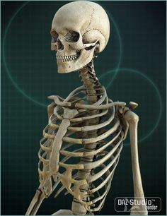The Skeleton Model is an anatomically correct female skeleton designed to work with Victoria 4 for unparalleled accuracy and poseability. Human Skeleton Anatomy, Female Skeleton, 3d Skeleton, Skull Anatomy, Skeleton Drawings, Body Anatomy, Anatomy Art, Anatomy Drawing, Human Anatomy