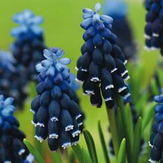 the muscari neglectum Dark blue has long lasting flower spikes, turning almost black at the bottom with tiny white rims Black Flowers, Beautiful Flowers, Garden Express, Early Spring Flowers, White Rims, Outdoor Settings, Edible Garden, Shades Of Purple, Spikes