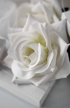 lovely white rose ❤