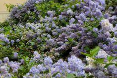 10 arbustes pour haie mellifère, pour les abeilles - Promesse de Fleurs - Promesse de Fleurs
