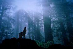 Animal totem wisdom: Wolf