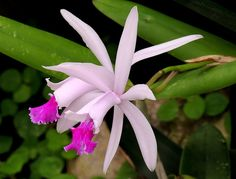 Two tropical orchids.