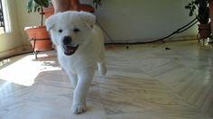 8 weeks old akita puppy